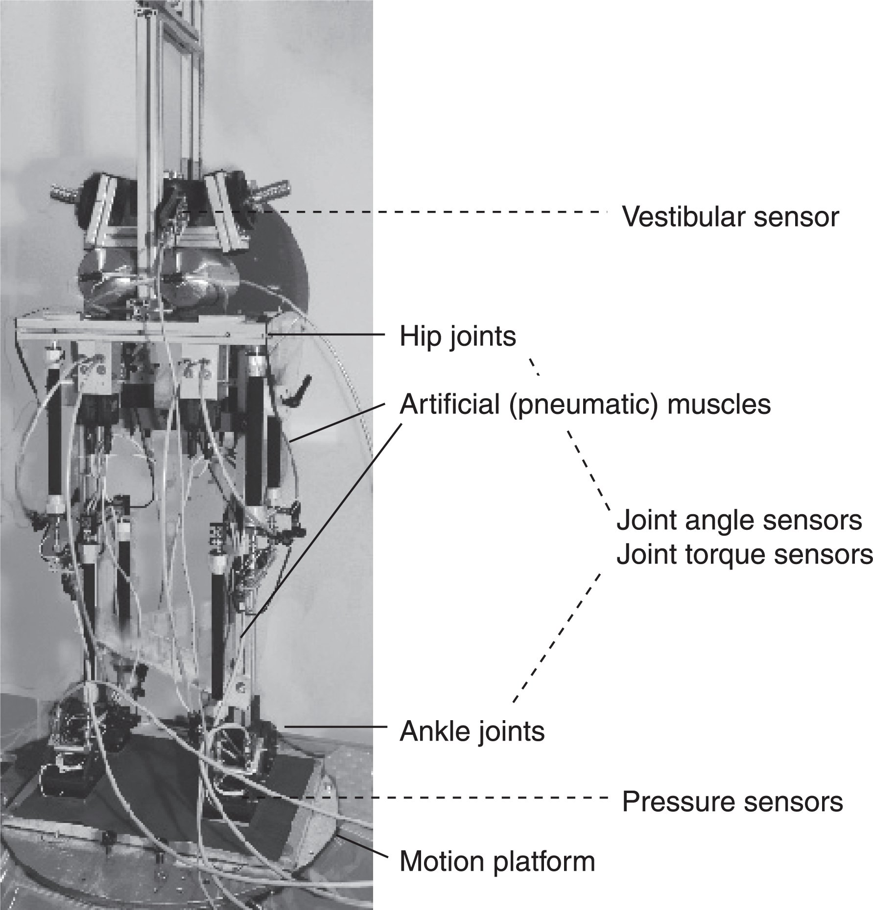 Picture of postural control robot Posturob II (2 DOF, hip and ankle joints). It is given human anthropometric parameters, uses artificial muscles and mechatronic artificial sensors and is controlled by the DEC algorithm. It serves as 'real world' model that is tested in the postural control laboratory in the same way as the human subjects.